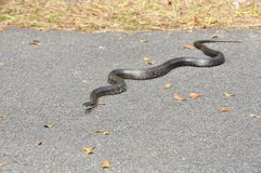 Rat Snake (Elaphe obsoleta) Royalty Free Stock Images