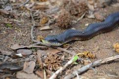 Rat Snake (Elaphe obsoleta) Royalty Free Stock Photos