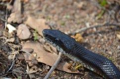 Rat Snake (Elaphe obsoleta) Royalty Free Stock Photo
