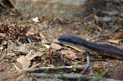 Rat Snake (Elaphe obsoleta) Stock Image