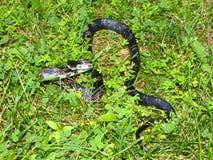 Rat Snake (Elaphe obsoleta) Stock Photos