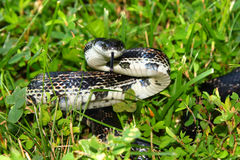 Rat Snake (Elaphe obsoleta) Stock Images