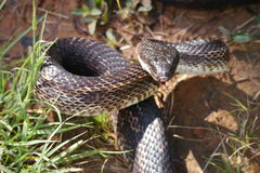 Rat snake Royalty Free Stock Image