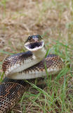 Rat snake Royalty Free Stock Photography