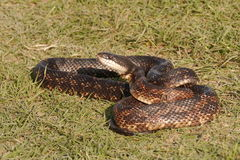 Rat snake. (Pantherophis obsoletus) in the grass looking at the camera Royalty Free Stock Images