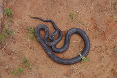 Rat snake. (Pantherophis obsoletus) on the ground in its natural environment Stock Photography