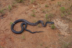 Rat snake. (Pantherophis obsoletus) on the ground in its natural environment Stock Photos