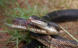 Rat snake. (Pantherophis obsoletus) with its tongue out Stock Photography