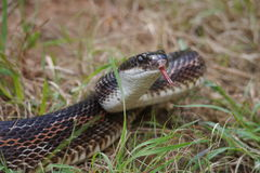 Rat snake. (Pantherophis obsoletus) with its tongue out Stock Photos