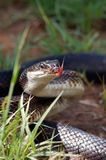 Rat snake. (Pantherophis obsoletus) with its tongue outside Royalty Free Stock Photos