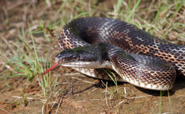 Rat snake stock photos