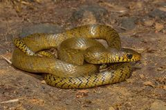 Rat snake, Ptyas mucosa , Aarey Milk Colony , INDIA. Ptyas mucosa, commonly known as the oriental ratsnake, Indian rat snake, `darash` or dhaman, is a common Royalty Free Stock Photography