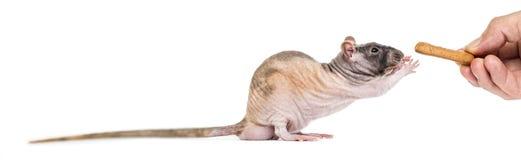 Rat som tar mat från mänskliga fingrar, Royaltyfria Foton