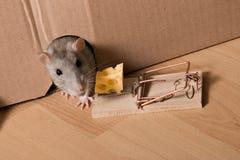 Rat, souricière et fromage Images libres de droits