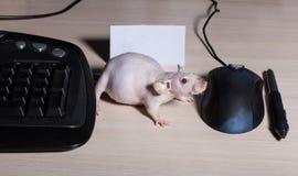 Rat Sphinx Stock Photo