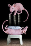 Rat on springs Royalty Free Stock Photography