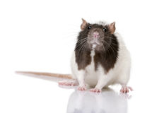 Rat standing in front of a white background Royalty Free Stock Photos