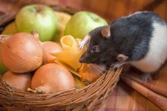 Rat stealing cheese. Out of a basket filled with apples and onions Stock Photos