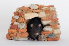 Rat in a stone house Royalty Free Stock Image