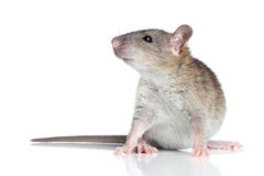 Rat sur un fond blanc Images stock