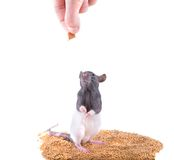 The rat takes a forage Royalty Free Stock Images