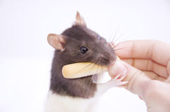 Rat taking a cheese stick Stock Photo