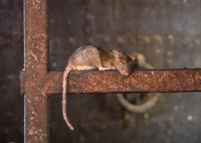 Rat tar en ta sig en tupplur Arkivfoto