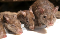 The Rat Temple Royalty Free Stock Photo