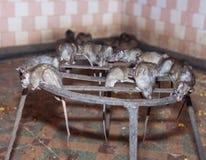 Rat temple, BIkaner Royalty Free Stock Photos