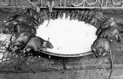 Rat temple, BIkaner Royalty Free Stock Image
