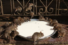 Rat temple Stock Photography