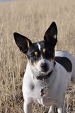 Rat terrier Royalty Free Stock Photos
