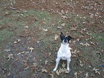 Rat Terrier Stock Photos