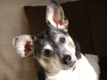 Rat Terrier. On couch in early morning light Royalty Free Stock Photo
