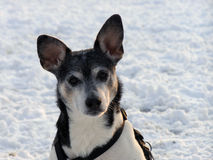 Rat Terrier. Closeup of rat terrier after heavy snow Stock Image