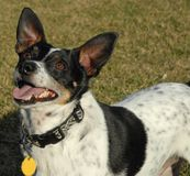 Rat Terrier Royalty Free Stock Images