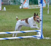 Rat Terrier at Dog Agility Trial Stock Photos