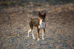 Rat Terrier dog on gravel road royalty free stock images