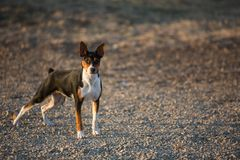 Rat Terrier dog on gravel road stock photo