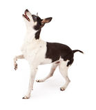 Rat Terrier Dog Looking Up For A Treat