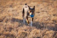Rat Terrier dog playing ball stock photo
