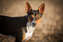 Rat Terrier dog portrait