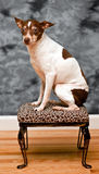 Rat terrier dog sits on a leopard skin foot rest Stock Images