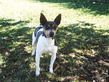 Rat terrier front stock photo