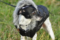 Rat Terrier Italian Greyhound Mix-Breed Dog Wearing Coat Stock Photo