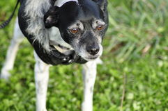 Rat Terrier Italian Greyhound Mix-Breed Dog Wearing Coat Stock Images