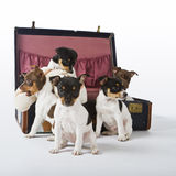 Rat Terrier Puppies. Seven Rat Terrier Puppies playing in a suitcase stock photos