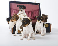 Rat Terrier Puppies. Seven Rat Terrier Puppies playing in a suitcase royalty free stock image