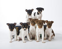 Rat Terrier Puppies. Seven Rat Terrier Puppies playing on a suitcase royalty free stock photography