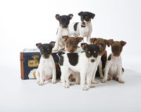 Rat Terrier Puppies. Seven Rat Terrier Puppies playing on a suitcase Stock Photos